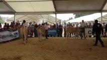Béré : concours de Blonde d'Aquitaine