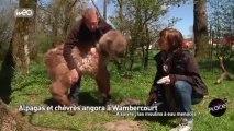 Alpagas et chèvres angora à Wambercourt