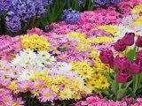 Sezi Çeşitli - Kır Çiçeğim
