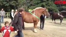 Concours national du cheval breton - Cheval breton à Lamballe