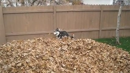 Un chien joue dans les feuilles mortes !