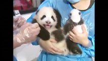 14 Artificially-Bred Panda Cubs Presented To The Public!!