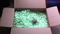 Des bébés Furets jouent dans une boite! Et il adorent ça!