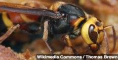 Giant Hornets Stinging China, Killing Dozens This Year