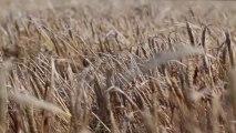 Free Stock Footage - Barley Field - Free Stock Video
