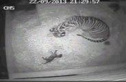 Un bébé tigre naît au zoo de Londres: une première en 17 ans