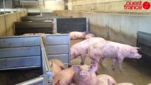 1 800 cochons bloqués dans l'usine - Abattoir Gad : 1 800 cochons bloqués