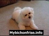 Bichon Frise Grooming-Proper Care & Feeding