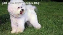 Bichon Frise Dogs 101 Season 1