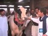 Peshawar Mandi : A Bull mimics sounds of Camels and Donkeys.