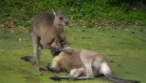 Kangourou étouffe un autre kangourou