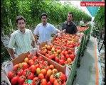 Briec (29). Serres chauffées à la vapeur : les premières tomates sont cueillies !