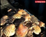 Brest. Les affaires maritimes traquent les infractions de pêcheurs de coquilles