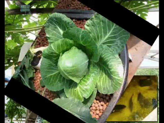 Aquaponics Plants for an Amazing Aquaponics System