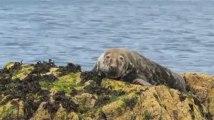 Réserve des Sept-Îles (22). Un phoque gris, peinard, sur son rocher