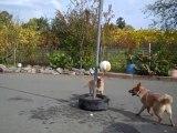 2 chiens jouent avec un ballon commes des fous.