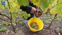 Les premières vendanges du vin de terril