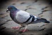 ZAPPING ACTU DU 25/10/2013 - Des pigeons belges dopés à la cocaïne