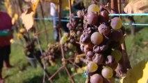 Les vendanges dans le plus haut vignoble d'Alsace