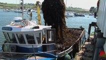 Algues : gestion durable de la récolte dans le Parc naturel marin d'Iroise en Bretagne