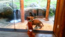 Boy In Tiger Costume Plays With Tiger Cub At The Zoo
