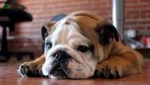 Ultimate Love Bulldogs Compilation!! Cute, Funny & Skateboarders !!