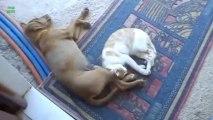 Des Chats qui font dodo avec des Chiens - Compilation d'animaux trop mignons.