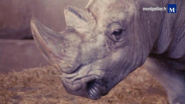 Insémination de rhinocéros blancs au Zoo de Montpellier