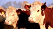 711_Two_brown_cows_in_the_herd_one_with_horns