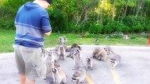 Ratons laveurs mangent des Doritos
