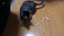 Des chats jouent avec des ficelles - compilation d'animaux marrants!