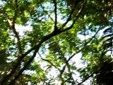 Costa Rica Corcovado Mono Aullador