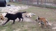 Chien joue avec des lions et tigres