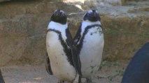 Des pingouins homosexuels au zoo de Tel-Aviv