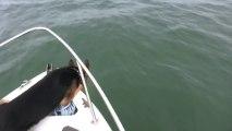 Un chien saute à la mer pour jouer avec des dauphins! Enorme...