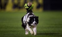 Rodéo de singes cowboys sur des chiens