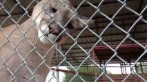Un Puma très très calin! Magnifique!