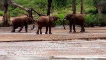 Des bébés éléphants assez collants!