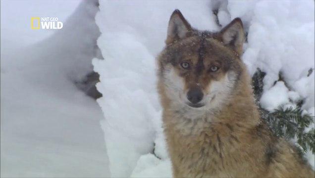 Les Loups de Sibérie