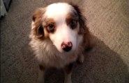 Dog Adorably Fails At Siren Howl