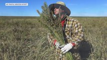 As states legalize weed, feds legalize hemp