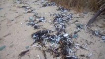 SERINGUES échouées à l'Ile de Groix - Janvier 2014