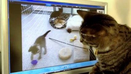 Un chat devient fou en voyant des chatons à la TV! sur Orange Vidéos 6dd970ea11c1