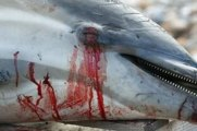 Shocking footage of dolphin in Taiji Cove : Watermen, what can we do to stop that ?