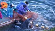 """Conservation group slams """"tradition"""" of Japan's dolphin hunts"""