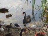 Vintage Video - Exotic and Beautiful Black Swans, Monger Lake 2001.  Perth, Australian Holidays