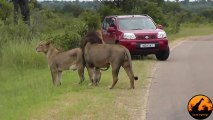 Lion's Roar Reminds Tourists to Stay Inside Car