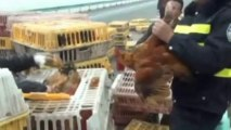 Thousands of chickens escape on Chinese motorway