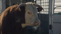 Chevrolet 2014 Super Bowl Romance Cow Ad May Gross You Out - NFL Big Game XLVIII