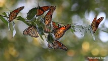 Monarch Butterfly Migration Numbers Continue to Decline